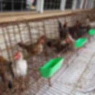 Jandowae Show - Poultry Display