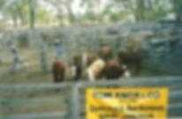 Jandowae Show - Stud Cattle Section