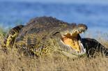 Crocodile, Okavango Delta.jpg