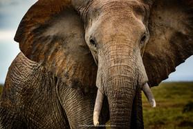 Elephant, Kruger Park.jpg