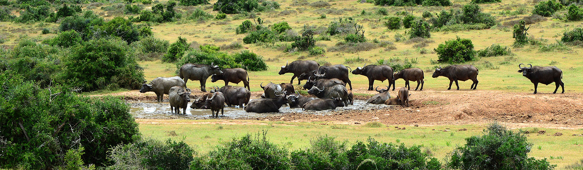 Cape Buffalo - Addo Elephant Park