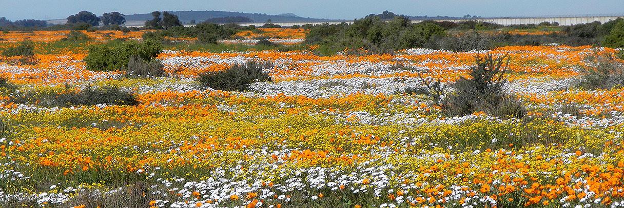 Namakwaland Wild Flowers
