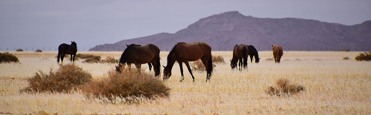 Wild Horses, Namibia