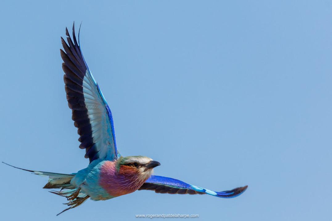 Lilac Breasted Roller, Kruger National Park.jpg