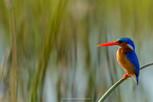 Kingfisher, Okavango.jpg