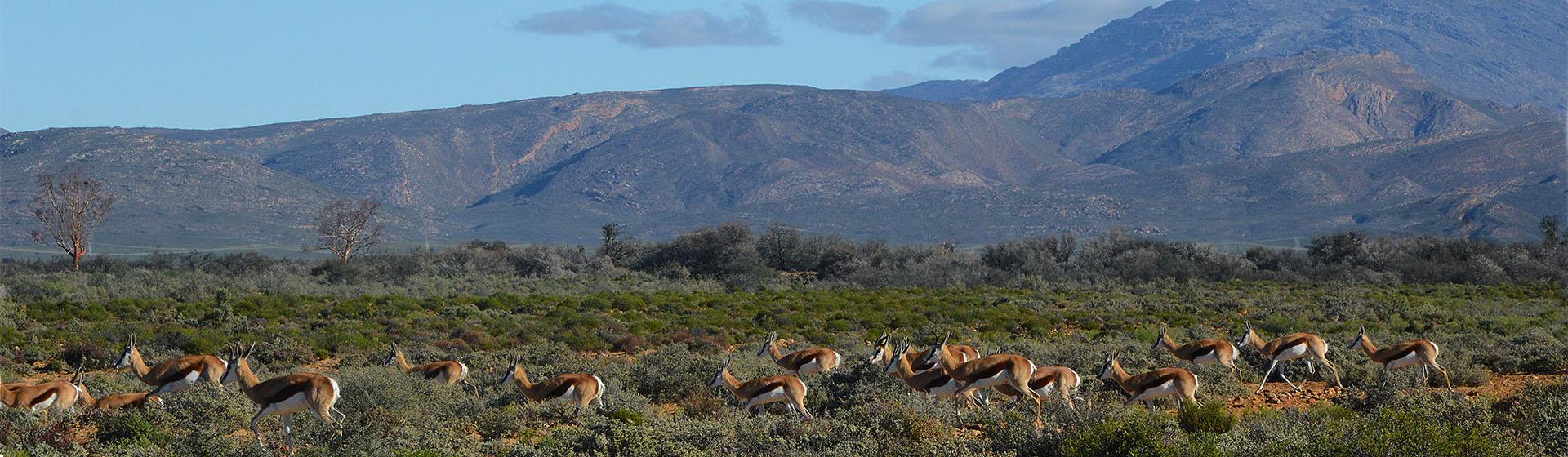 Springbok Herds, Inverdoorn