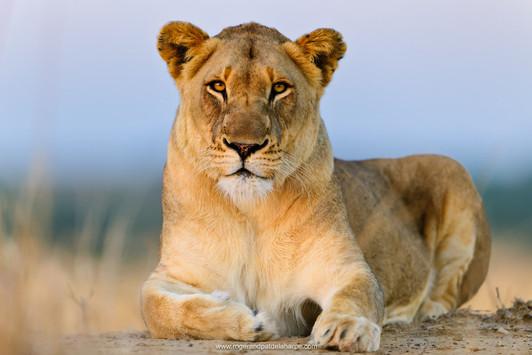 Lioness, Kruger National Park.jpg