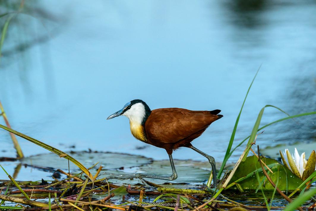 Birdlife, Okavango Delta.jpg