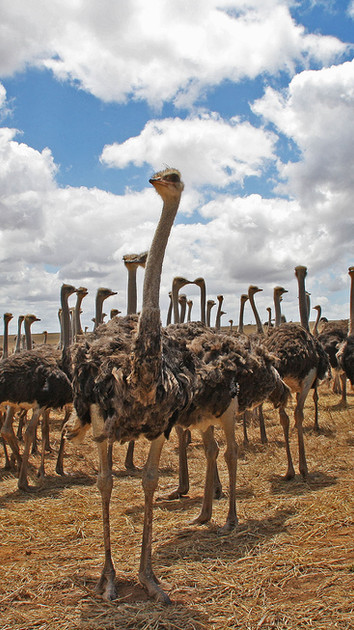 Ostrich Farms, Oudtshoorn
