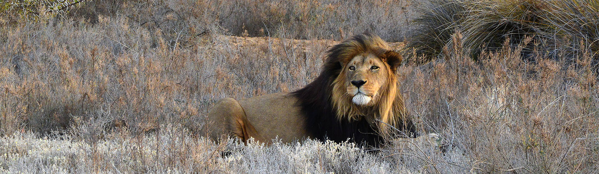 Male Lion, Inverdoorn Game Reserve