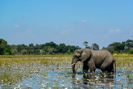 Elephant, Okavango Delta.jpg