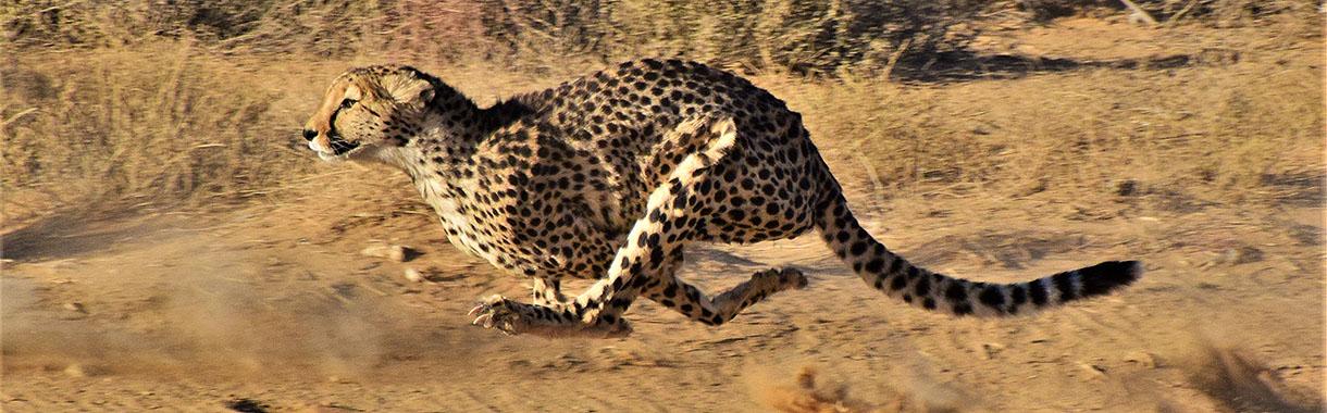 Cheetah in full Sprint, , Botswana