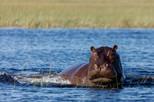 Hippo, Okavango Delta.jpg