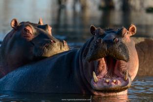 Hippo, Okavango Delta