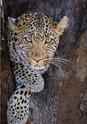 Leopard, Kruger National Park.jpg