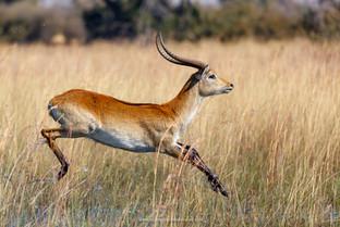 Red Lechwe, Okavango Delta.jpg