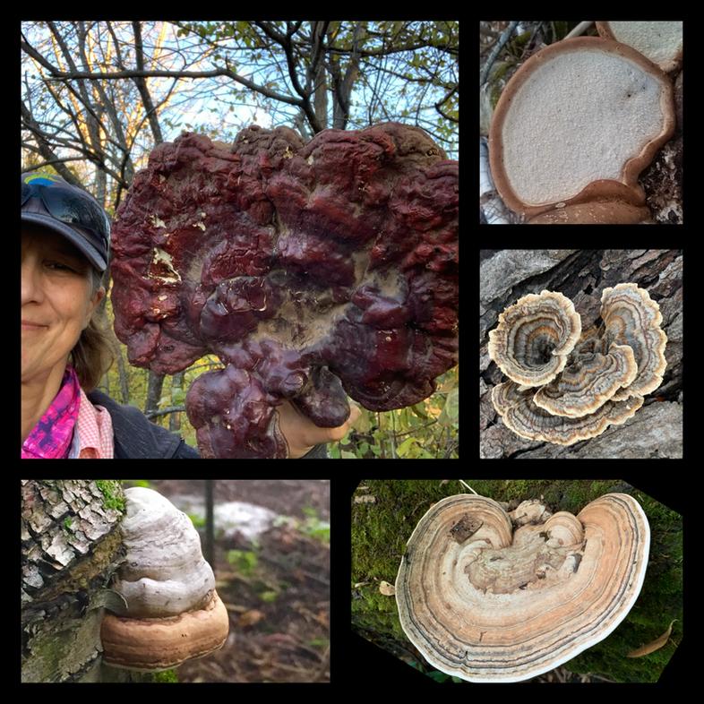 Medicinal Polypore Fungi