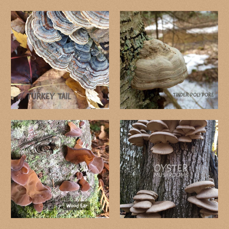 Calabogie Hiker: Winter Fungi Foraging.
