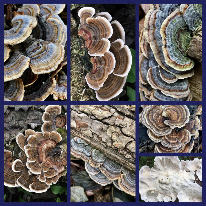 The Beauty and Power of Turkey Tail
