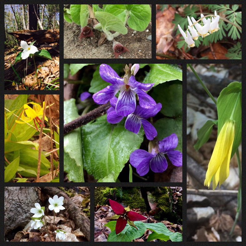 Calabogie Hiker: Early Spring Flora to Watch for in N.E.Ontario and Québec Highlands.
