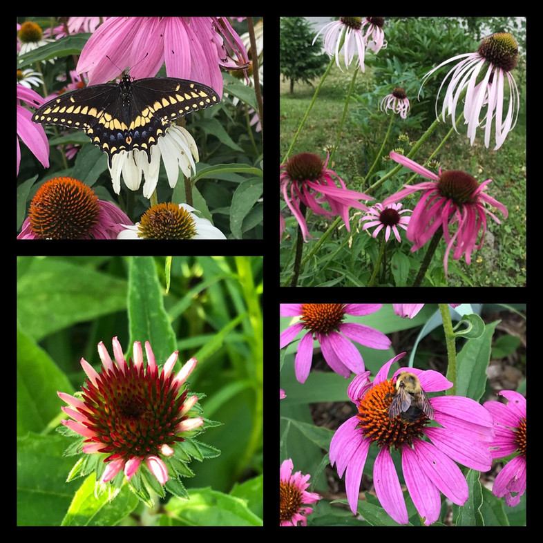 The Purple Coneflower is not for 'the bees'. They are the 'bees knees' of plants.