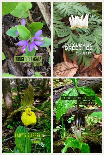 Calabogie Hiker: Forest Bathing, Medicinal Hiking Method