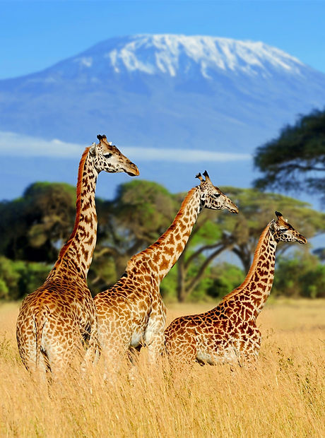 Three%20giraffe%20on%20Kilimanjaro%20mou