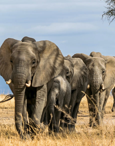 Herd%20of%20Elephants%20in%20Africa%20wa