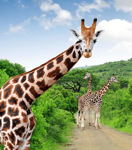 Giraffes in Kruger park South Africa.jpg
