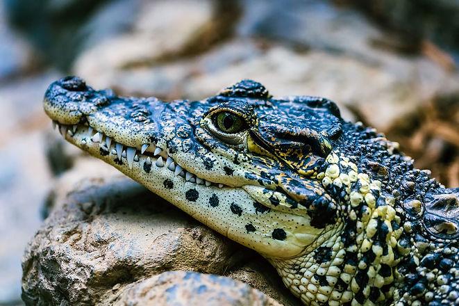 alligator-2064519_1920.jpg
