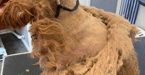 Knots Vs Matts - What's the difference and what does it mean for your dog's groom?