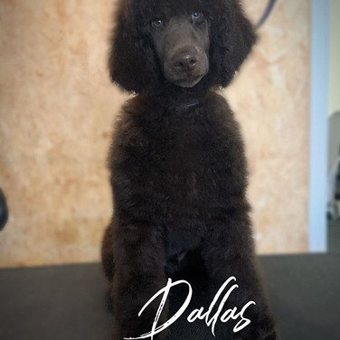 The gorgeous Dallas the standard poodle