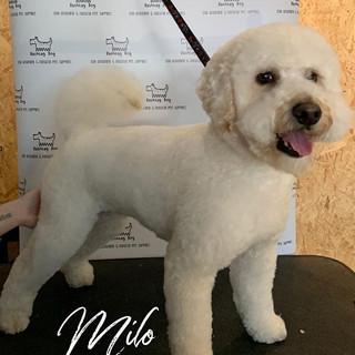 Milo, you look like a beautiful fluffy c