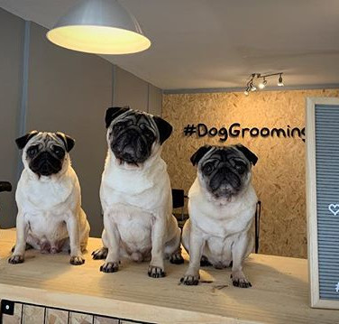 The Pugs & all of us at Hashtag Dog woul