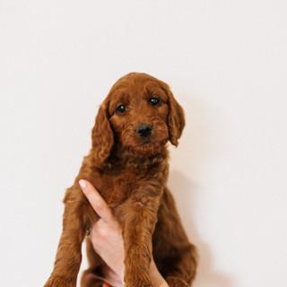 Linda puppies big-Linda puppies big-0005