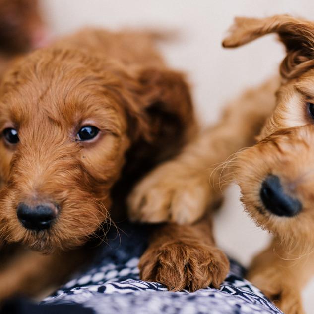 Linda puppies big-Linda puppies big-0087