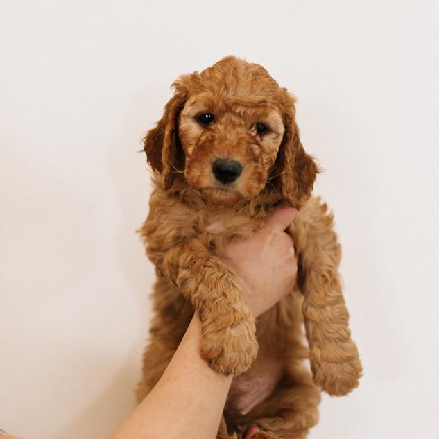 Linda puppies big-Linda puppies big-0070