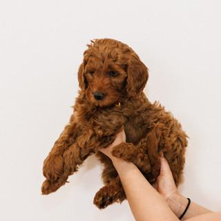 Linda puppies big-Linda puppies big-0018