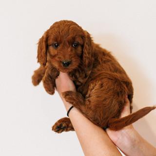 Linda puppies big-Linda puppies big-0010