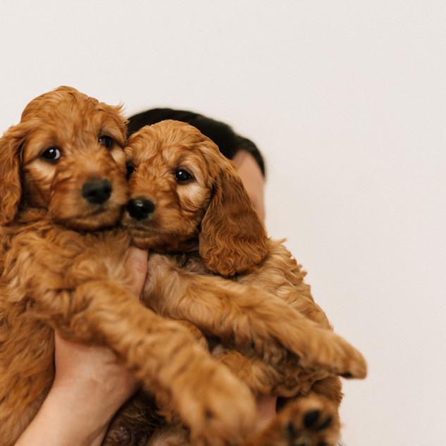 Linda puppies big-Linda puppies big-0075