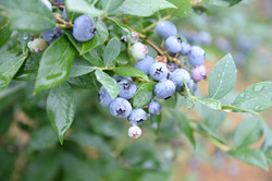 ブルーベリー農園のブルーベリー画像