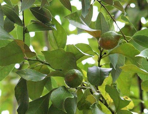 レモンの木.jpg