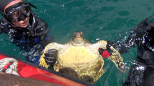Sea Turtle Study has begun-Letter from Terry Lilley