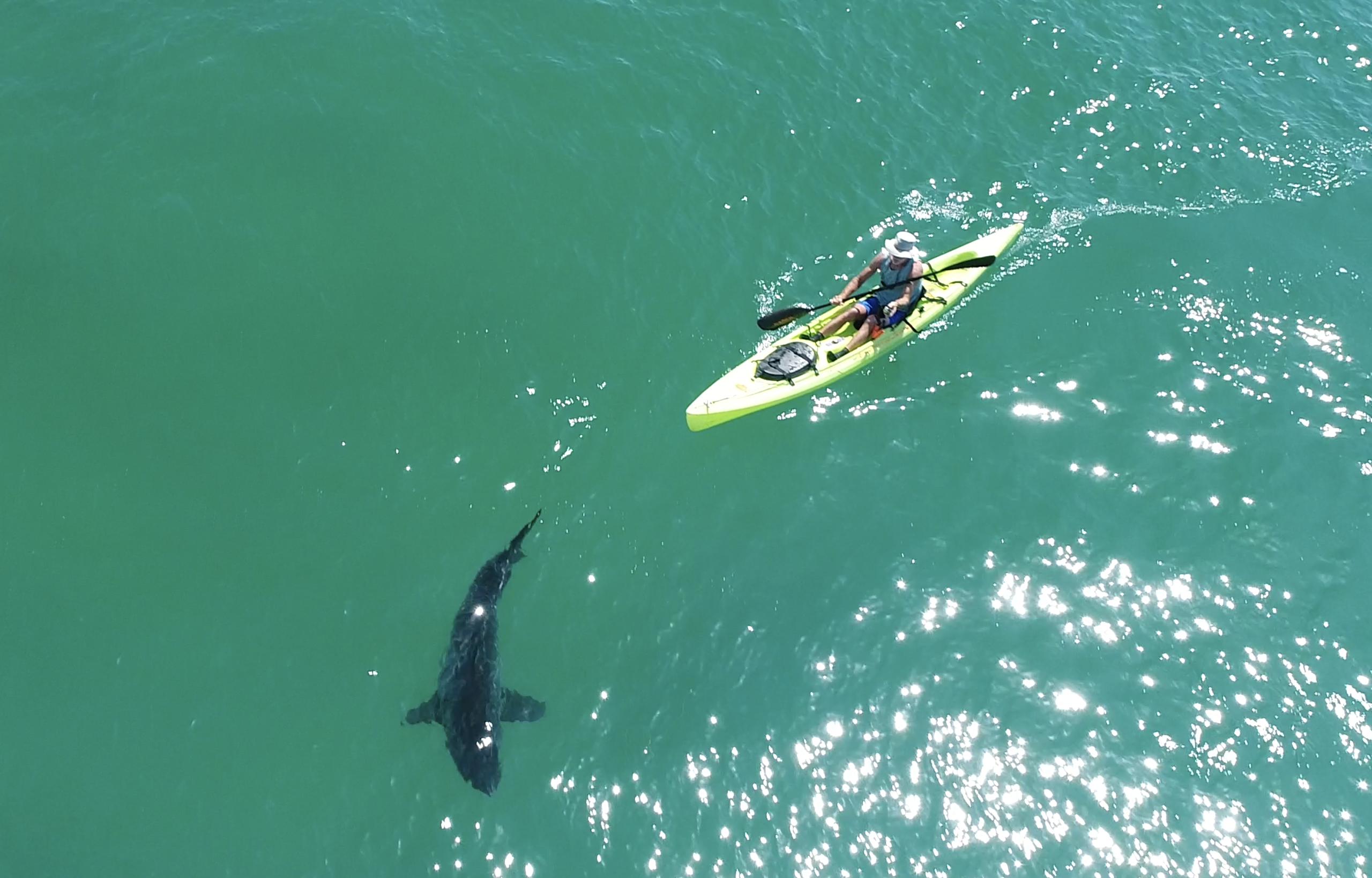 Kayaker and Great White Shark