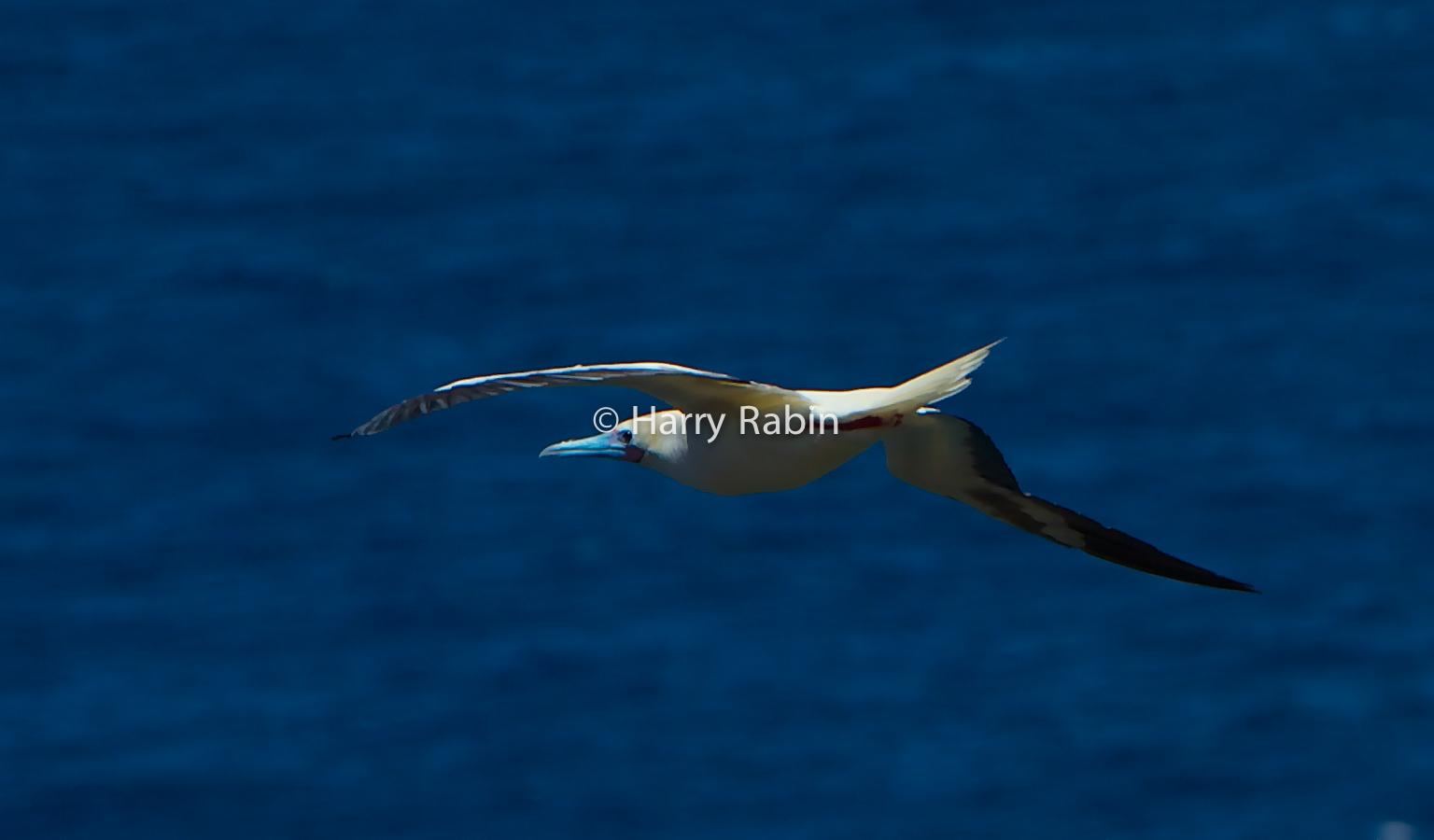 Nature+Bird+Booby
