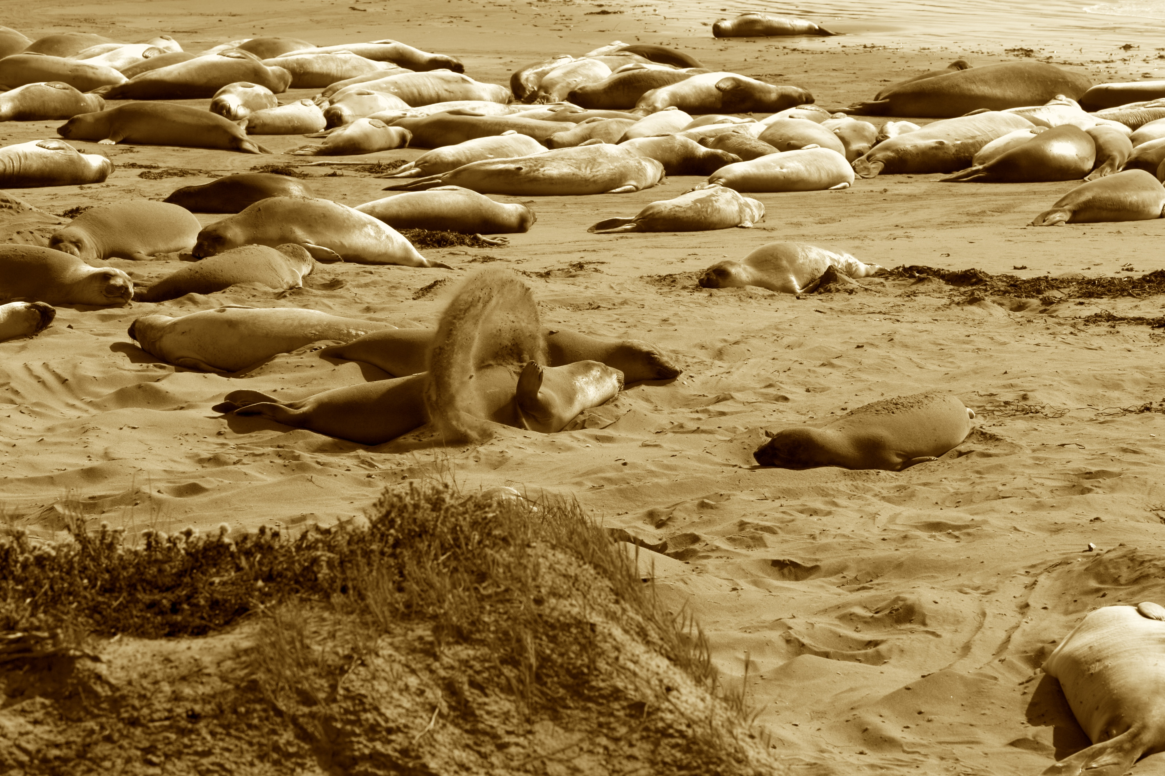 Piedras+Blancas+Elephant+Seal+sand+circle