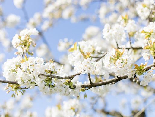 Blütezeit auf dem Obsthof Schuback in Jork