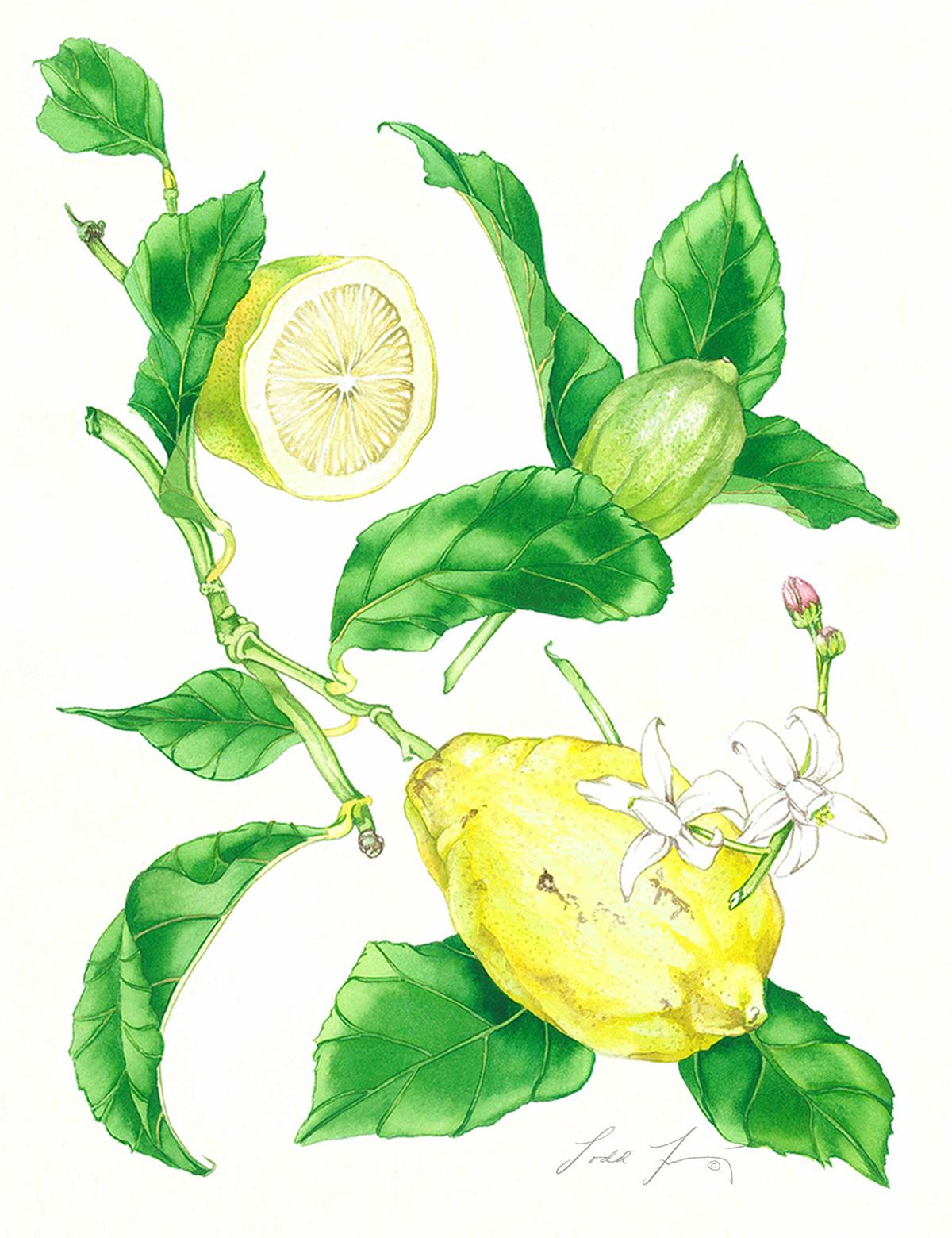 Helen's Lemons #66