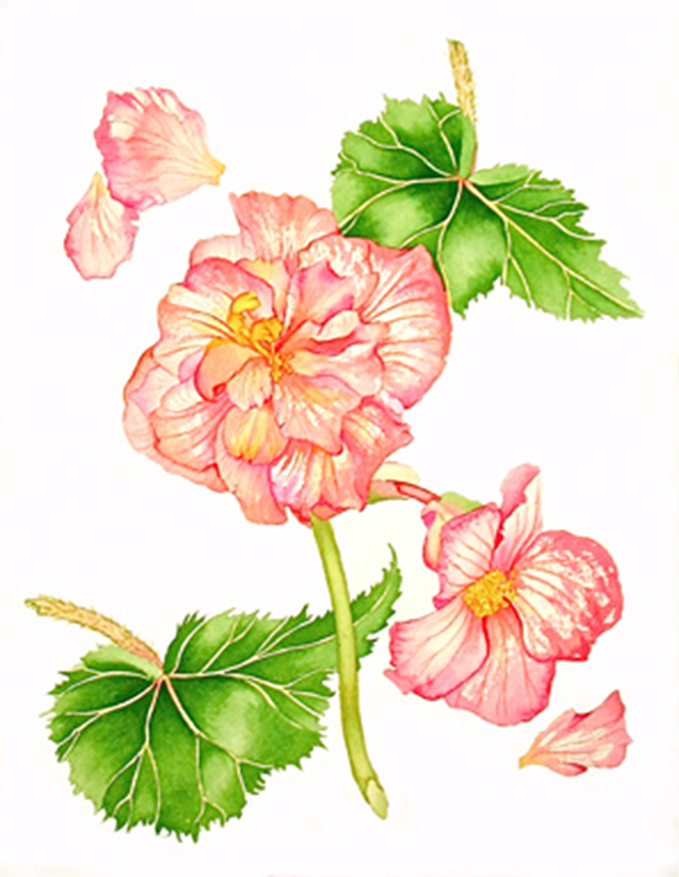 Yountville Begonia
