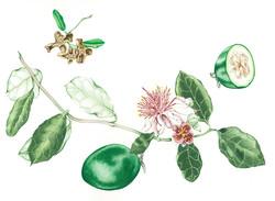 Helen's Guavas #39
